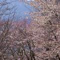 写真: 桜の中を行く