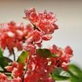 Photos: 庭の花.ツツジ