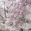 写真: 桜~共演