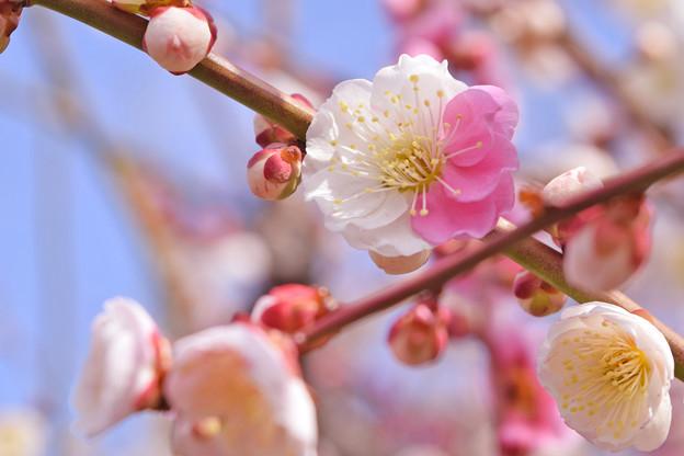 大阪城公園の梅です