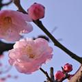 Photos: 大阪城公園の梅です(武蔵野)