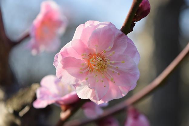 大阪城公園の梅です(武蔵野)