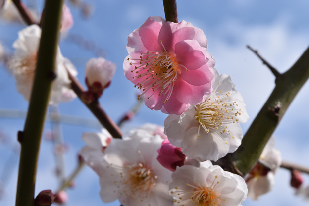 雨後の梅の花