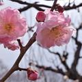 Photos: 雨後の梅(武蔵野)