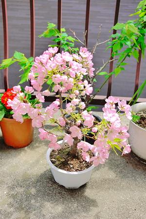 桜、去年以上に花がついてるような