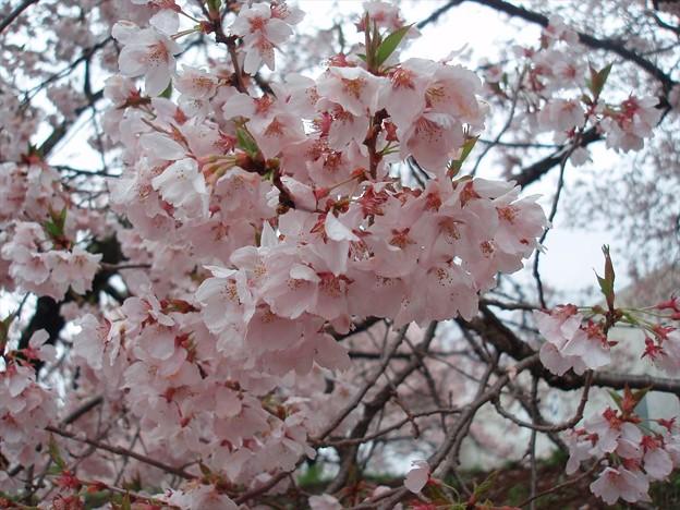 桜接写3。