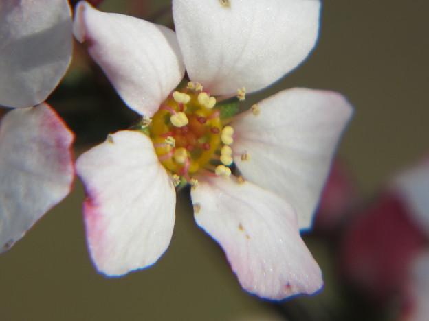 ピンクユキヤナギの花拡大1