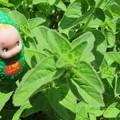 Photos: オレガノの葉
