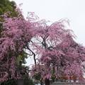 川井家の枝垂れの元の木はこのお寺にあったんです