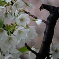 白い桜、背景はピンクの桜