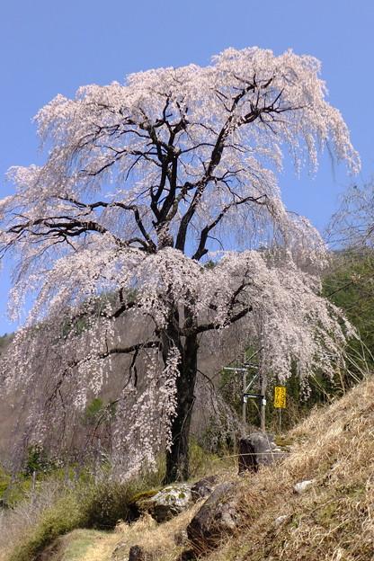 Photos: 4月に木曽路を縦断する特急しなのに乗ると車窓からこんなに美しい桜を見れますよ~