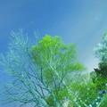 白樺の新緑が美しい