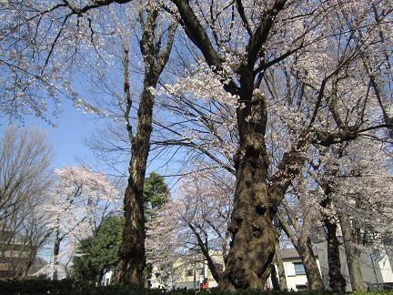 多摩平第7公園の桜 3