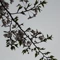 Photos: 桜の写真