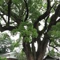 写真: 艮神社の御神木