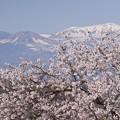 桜と吾妻小富士