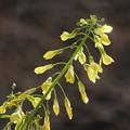 写真: 水栽培キャベツの花
