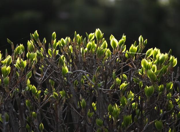 植え込みの新芽