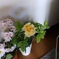 Photos: 3月23日「ミニ薔薇」