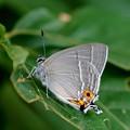 大緑小灰蝶
