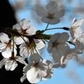 桜 ミアゲル