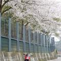 桜吹雪に・・・