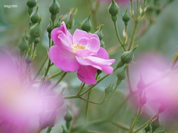 薔薇の夢は昼ひらく♪
