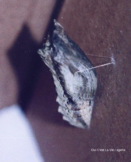 キアゲハ飼育(蛹化場所が同じでも蛹の色は違うこの不思議。)