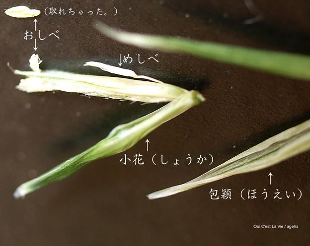 猫草の花はなかなか単純。(エンバク エン麦 燕麦)イネ科。カラスムギ。