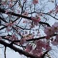 写真: 早咲きはぼちぼち。
