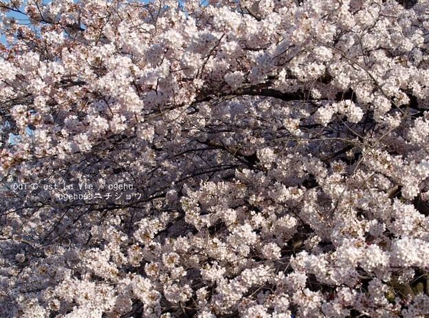 桜の木の下にはね