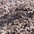 Photos: 桜の木の下にはね