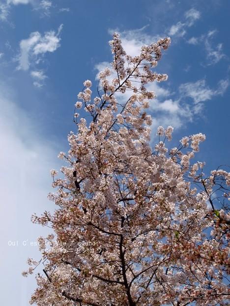 2015桜見納め。