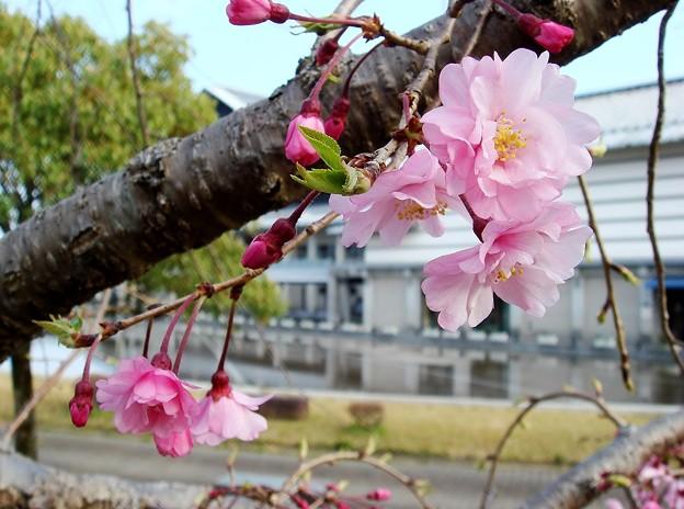 八重枝垂れ桜