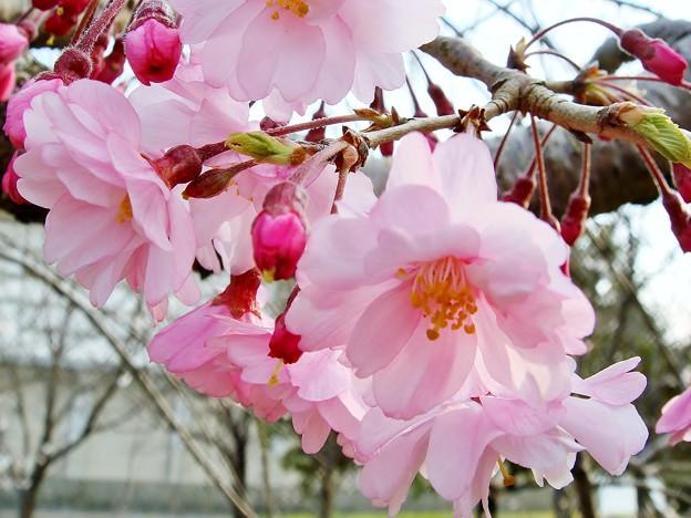 八重咲き かわいい