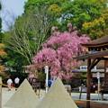 上賀茂神社  みあれ桜と立砂