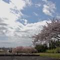 Photos: 多賀城政庁跡の桜
