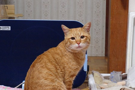2009年03月04日の茶トラのボクチン(4歳)