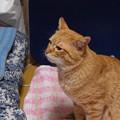 写真: 2009年03月04日の茶トラのボクチン(4歳)