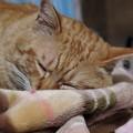 写真: 2009年03月13日の茶トラのボクチン(4歳)