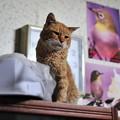 写真: 2012年03月13日の茶トラのボクチン(7歳)