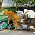 写真: 2012年03月15日の茶トラのボクチン(7歳)とクロちゃん(1歳未満)