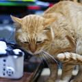 写真: 2011年03月21日の茶トラのボクチン(6歳)