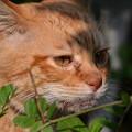 写真: 2011年04月23日の茶トラのボクチン(もう直ぐ7歳)