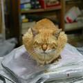 写真: 2011年04月27日の茶トラのボクチン(もう直ぐ7歳)