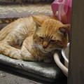 写真: 2012年05月07日の茶トラのボクチン(ほとんど8歳)