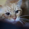 写真: 2011年05月15日の茶トラのボクチン(7歳)