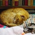 写真: 2012年05月28日の茶トラのボクチン(8歳)