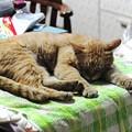 2009年06月02日の茶トラのボクチン(5歳)