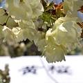 黄桜の黄桜、満開です
